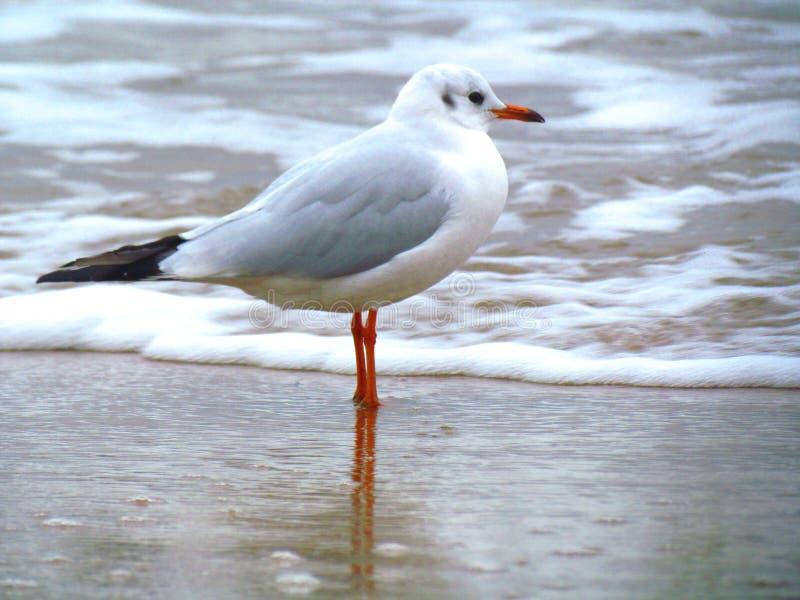 Seagull - baltiskt hav fotografering för bildbyråer