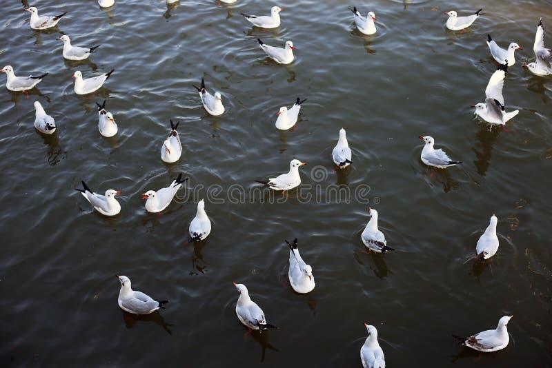 Seagull in Bangpu Samutprakan stock photography