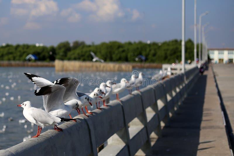 Seagull in Bangpu Samutprakan royalty free stock photos