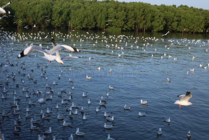 Seagull in Bangpu Samutprakan royalty free stock photography