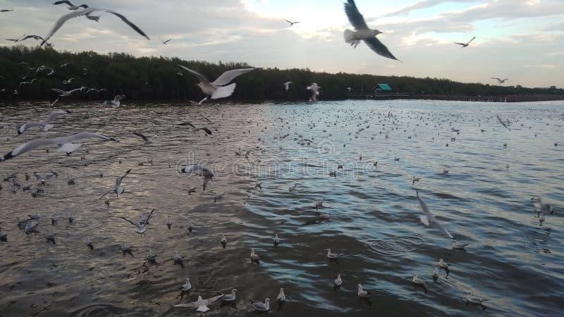 Seagull in Bangpu stock photos