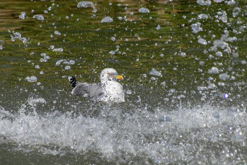 Seagull bathing in a lake near a water fountain stock photography