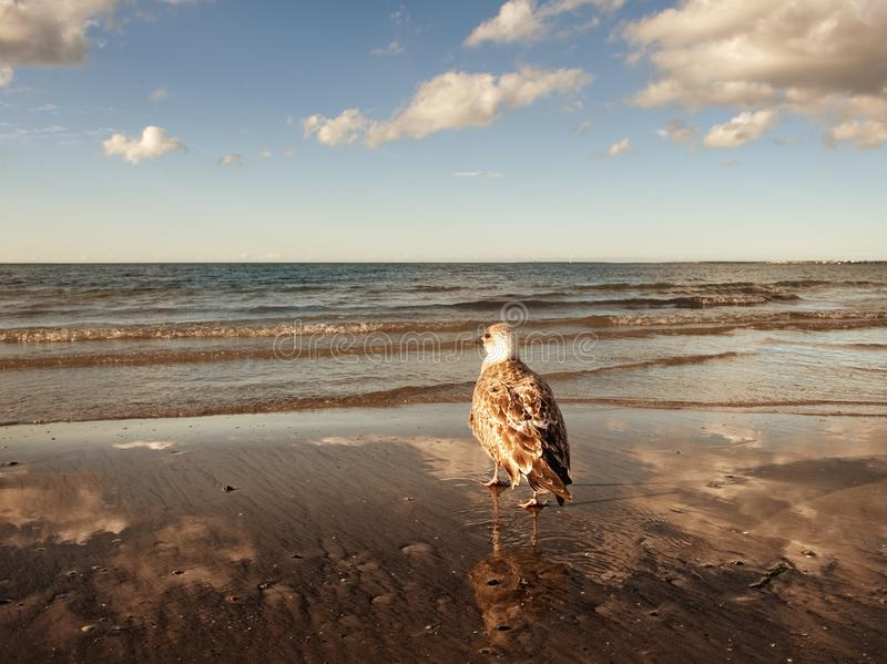 Download Seagull on the beach stock image. Image of free, background - 12113639