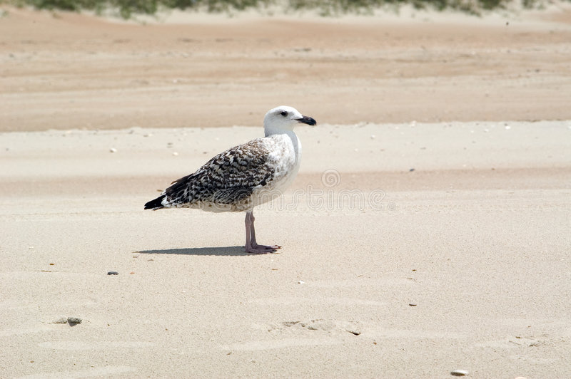 Download Seagull on the Beach stock image. Image of caromlina, beach - 16569
