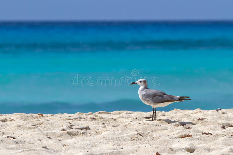 Download Seagull on the beach stock image. Image of caribbean - 21339603