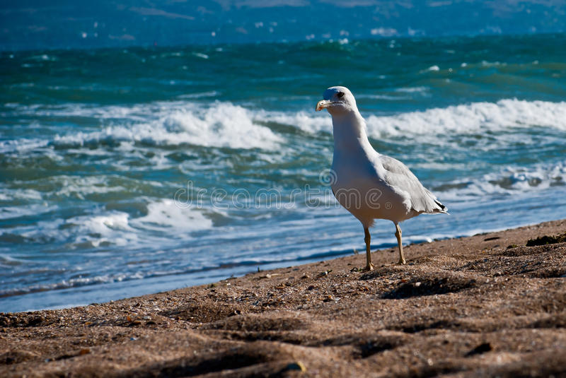 Download Seagull on the beach stock photo. Image of natural, gull - 27147934