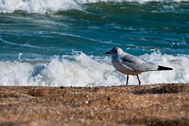 Download Seagull on the beach stock photo. Image of natural, scenery - 27147938