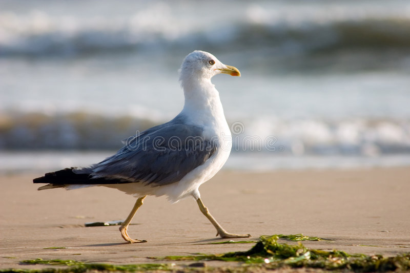 Download Seagull on the beach stock photo. Image of equilibrium - 342998