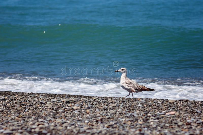 Gull and sea royalty free stock image