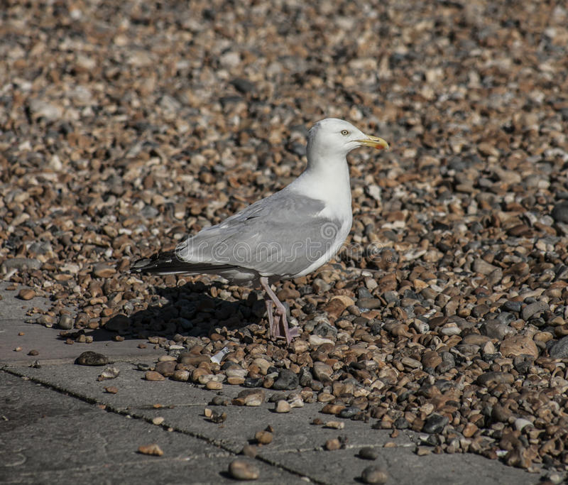 Seagull on a beach in Brighton. This image shows a seagull on a beach in Brighton. It was taken on a sunny day in August 2017 stock images