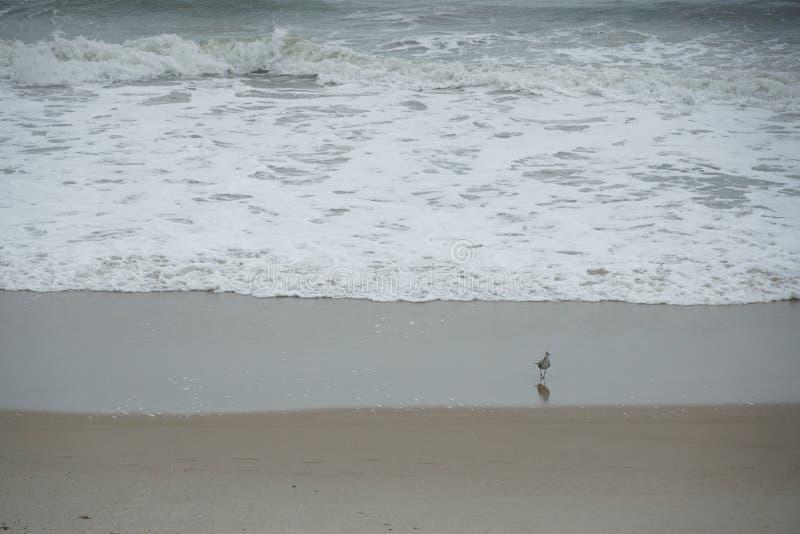 Seagull on the beach near waves stock photography