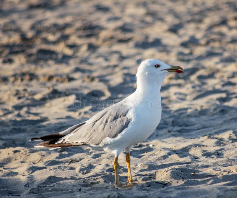 Seagull on the beach strolling among the sand in search of food left over by tourists, evolution and adaptation.  stock image