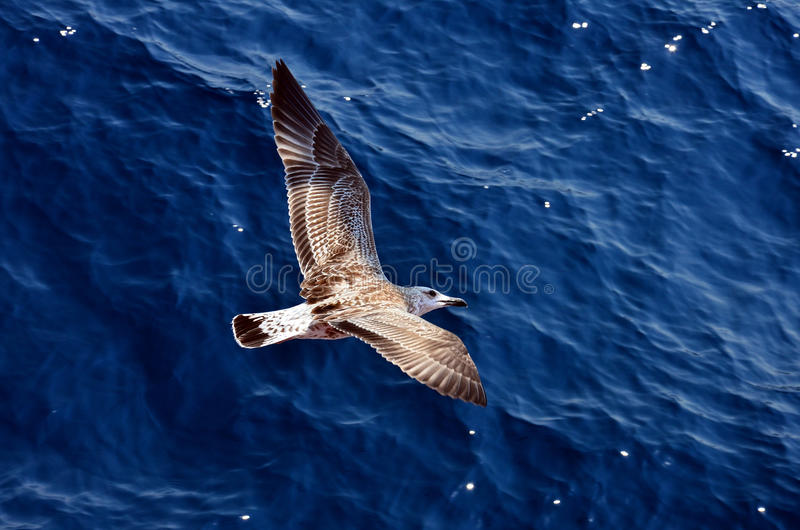 Download Seagull bird stock photo. Image of blue, freedom, animals - 25579294