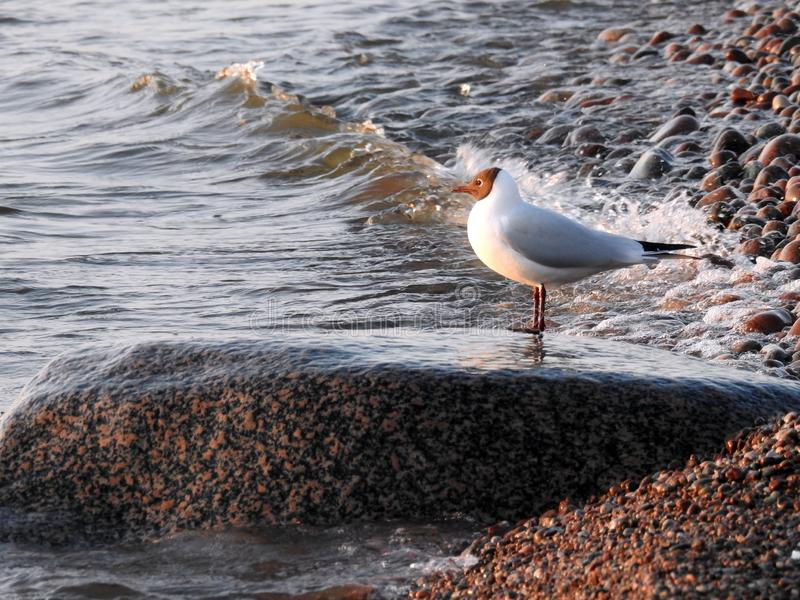 Seagull bird on big stone on Baltic sea coast, Lithuania stock photo