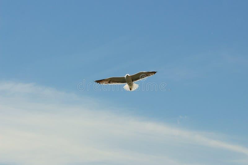 Seagull bird in flight stock photography