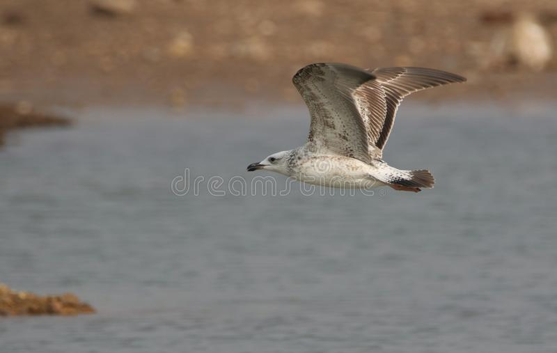 Seagull bird. Is flying above the river water. bird colour is so lovely. brown spots on white colour are looking so beautiful royalty free stock photo