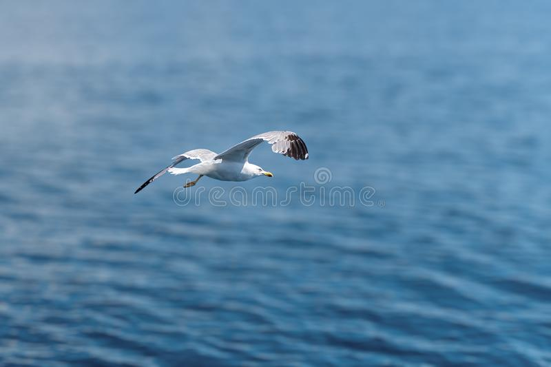 Seagull bird flying above sea stock photo