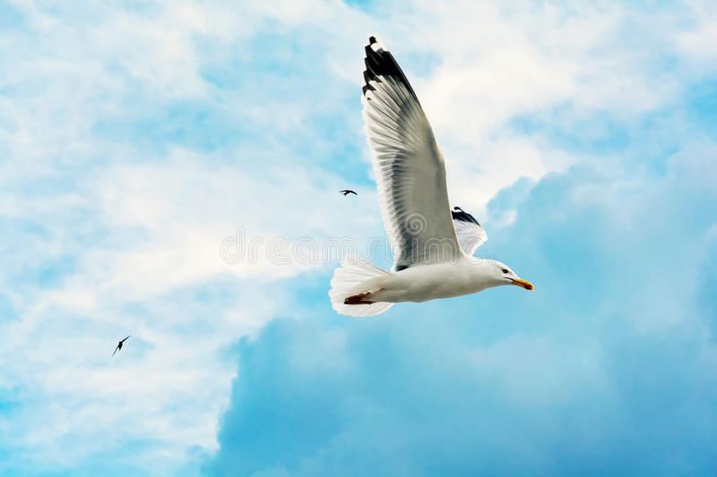 A seagull bird flying in the blue sky. Closeup royalty free stock image