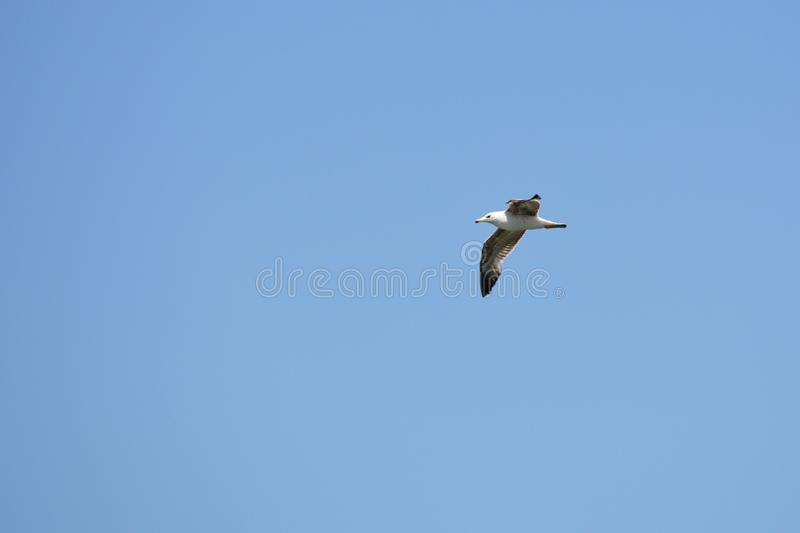 The seagull bird is flying on the blue sky royalty free stock photos