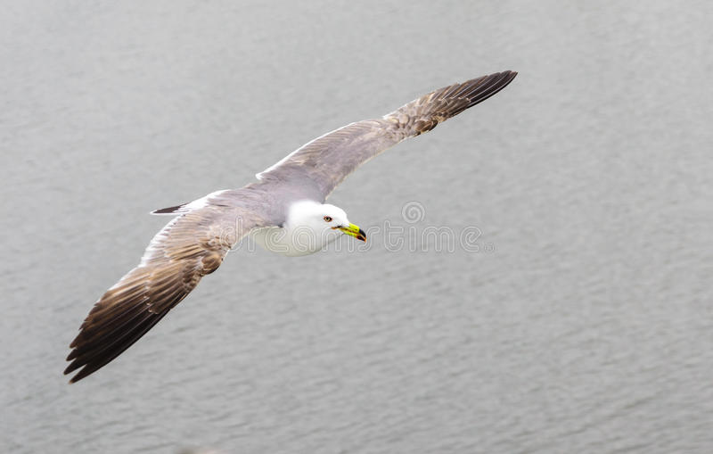 Seagull bird flying royalty free stock photo