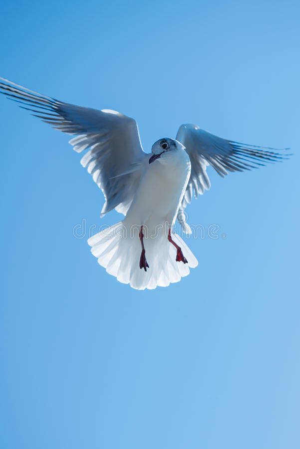 Seagull bird hovering. Seagull flying in the spot with hovering maneuver royalty free stock image