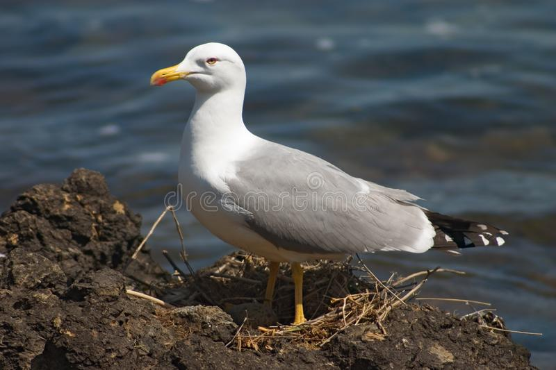 Seagull bird in the nest royalty free stock photo