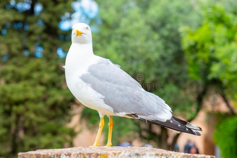 Seagull bird in Roman Forum, Rome, Italy.  royalty free stock photography