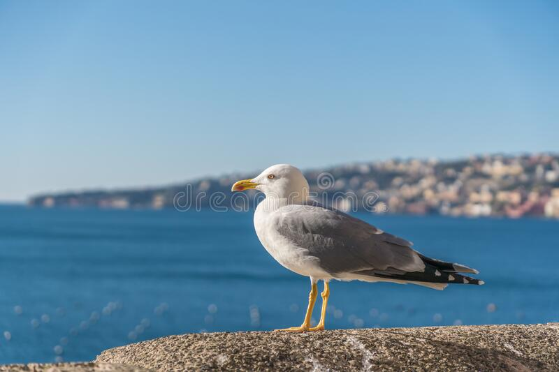 Seagull bird is standing near sea. City in background. stock photography