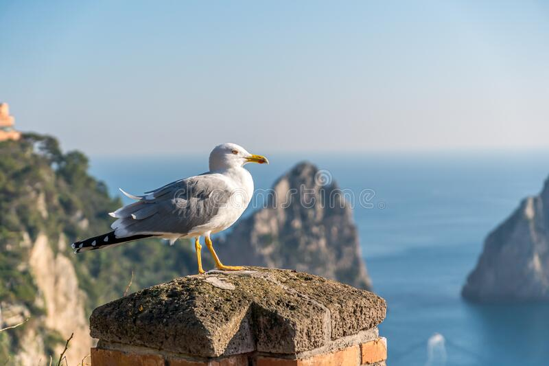 Seagull bird is standing near sea. Cliffs in background. stock photos