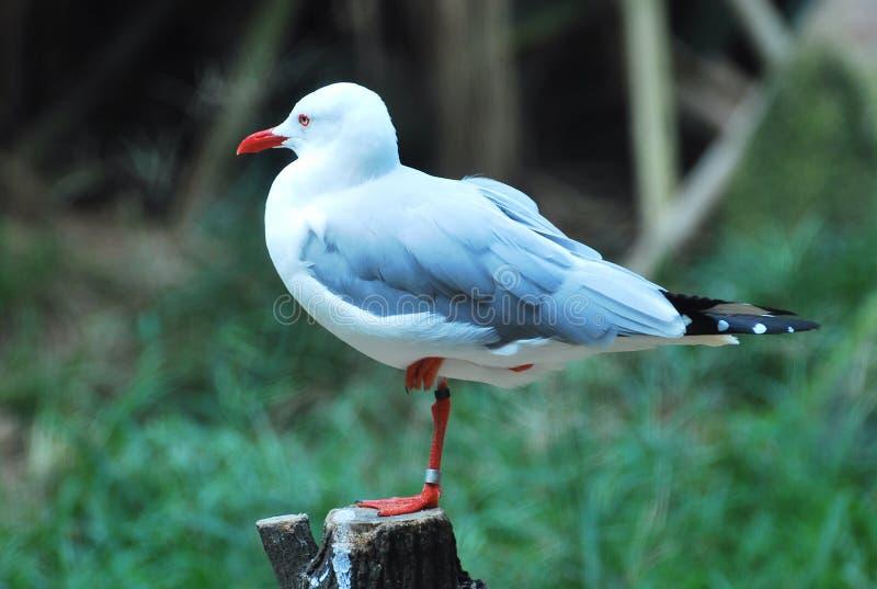 A seagull bird standing on one leg on a log stock photos