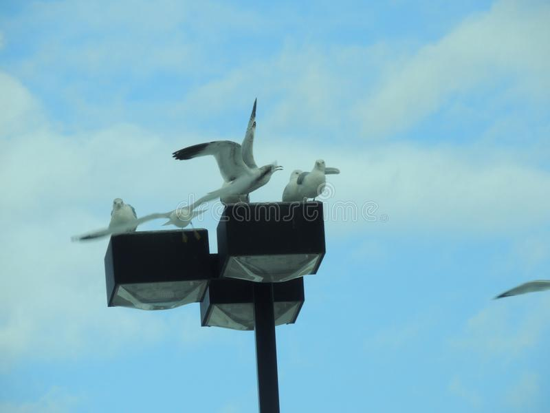 Seagulls sitting and frolicking on light post. Seagull Birds with head bowed to their chest to groom themselves royalty free stock photography
