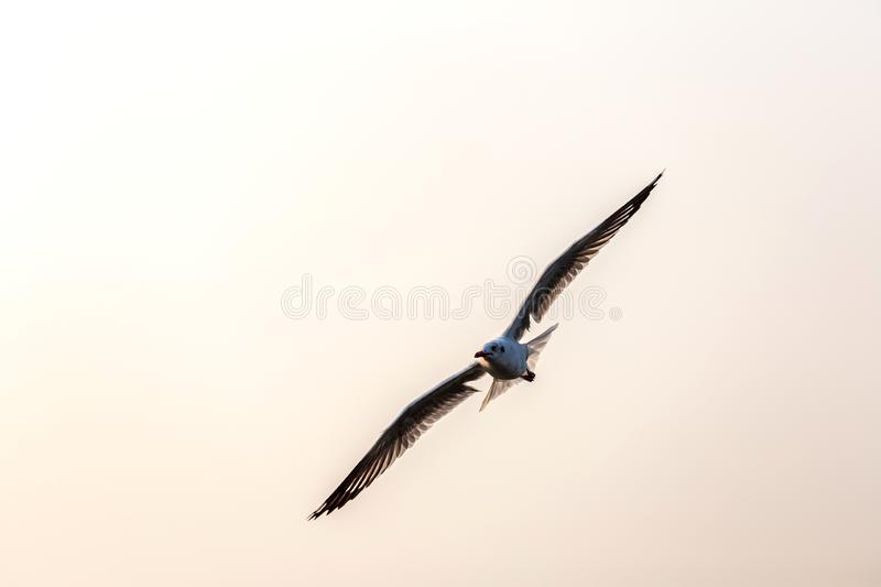 Seagull, the birds migrate from Siberia to Bangpu Samutprakhan Thailand, are feeded by traveler during sunset. fly over the sea an royalty free stock images