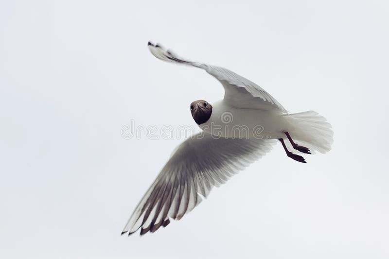 Seagull with black head On The gray Background royalty free stock photos