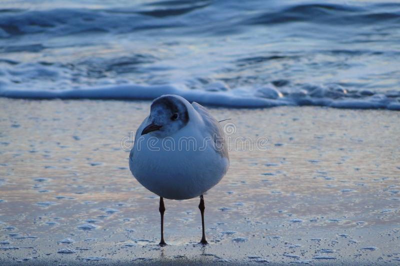 Seagull on the Black Sea, Odessa by the beach stock photo