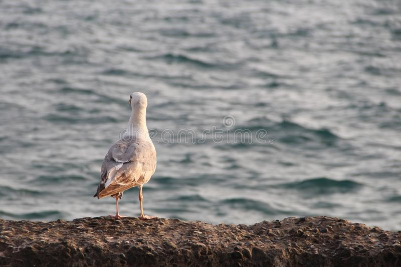 Seagull on the blue sea looks into the distance royalty free stock images
