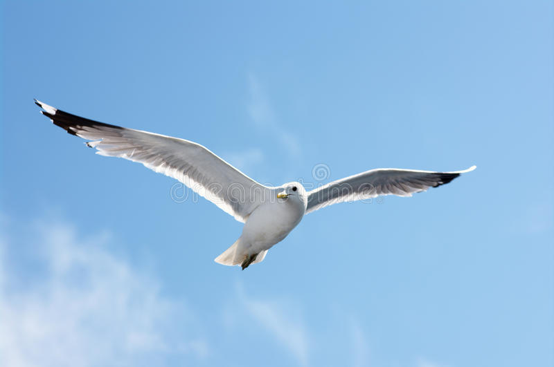 Seagull in blue sky. Single adult seagull in blue sky stock images
