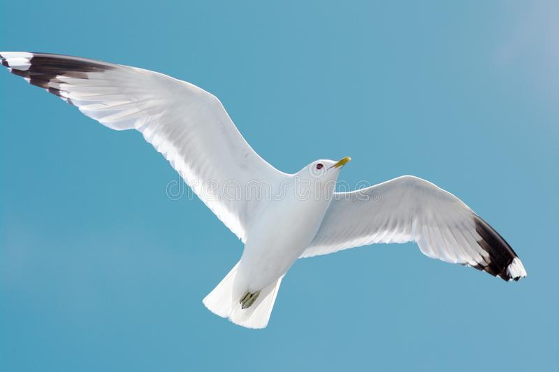 Seagull in blue sky royalty free stock images