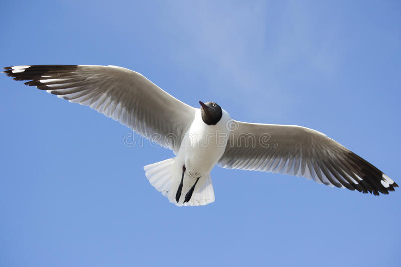 Seagull on blue sky royalty free stock photo