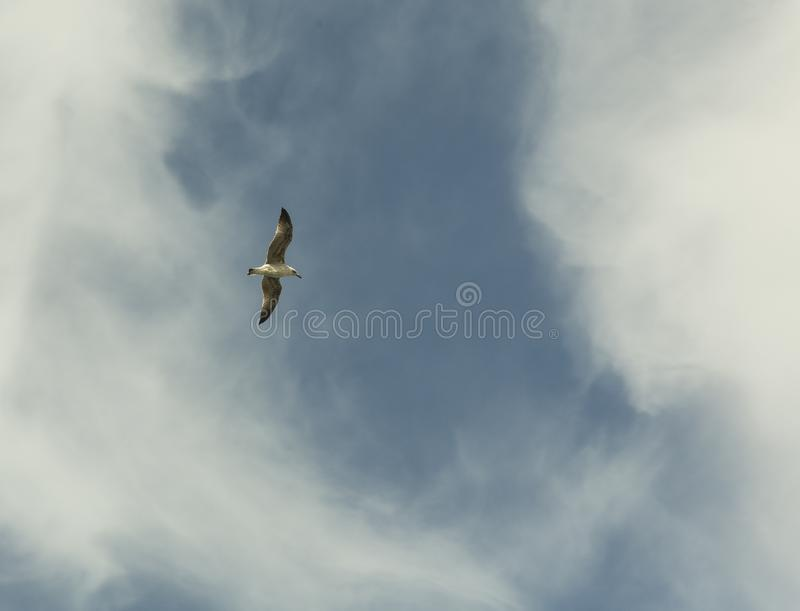Seagull on the blue sky. Seagull on high in the blue sky stock photography