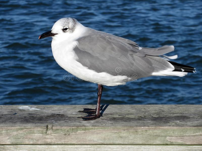 Seagull and Blue Water in Ocean City Maryland royalty free stock photo
