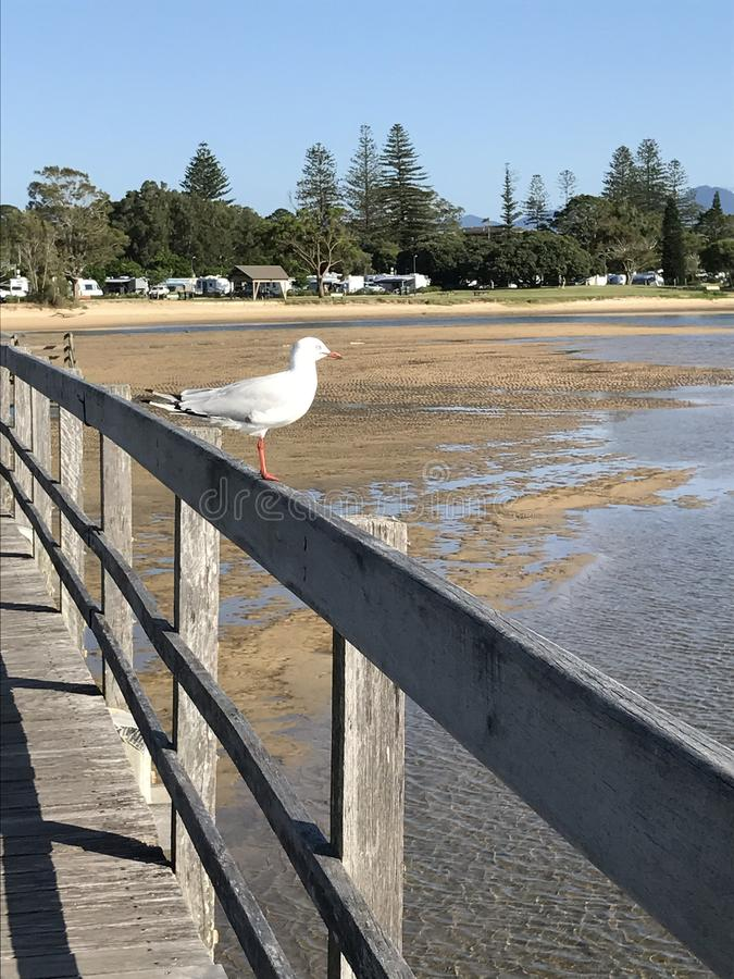 Seagull on boardwalk, Urunga Lagoon, Australia. Seagull on wooden boardwalk in Urunga Lagoon, Australia on sunny day stock photography
