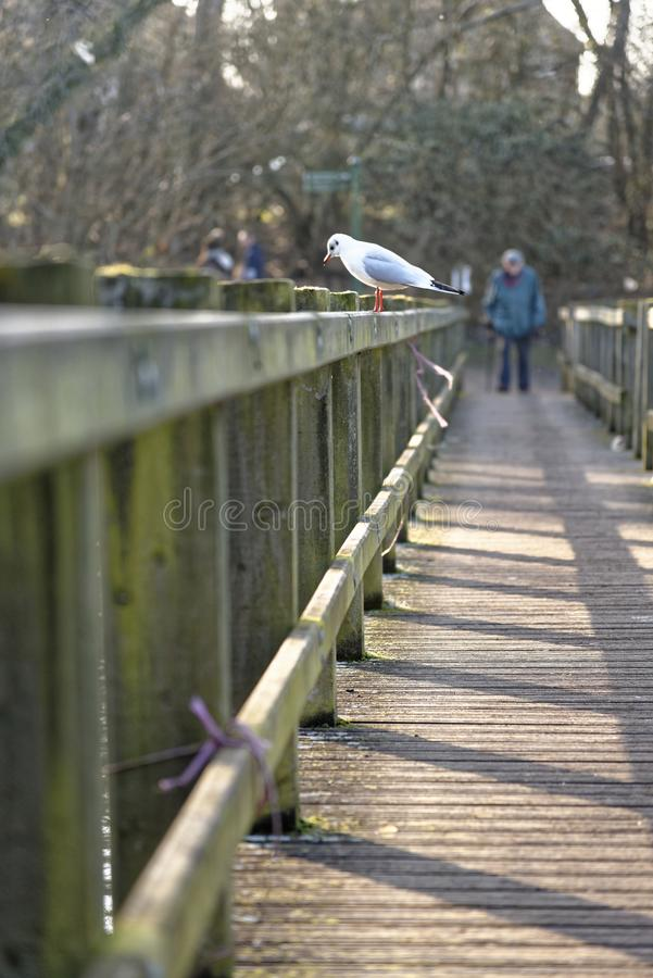 Seagull on a bridge with an ald man in the background. A seagul looks down from a bridge while an old man struggles to cross a wooden bridge, welwyn garden city stock image