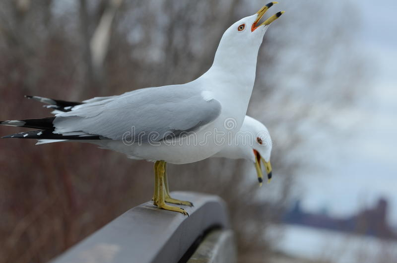 Seagull on a bridge. Two seagull stand together and defend within their territory stock photography