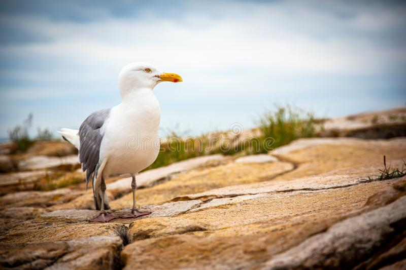 Seagull with broken wing on granite rocks in Acadia National Park, Maine, USA royalty free stock photo