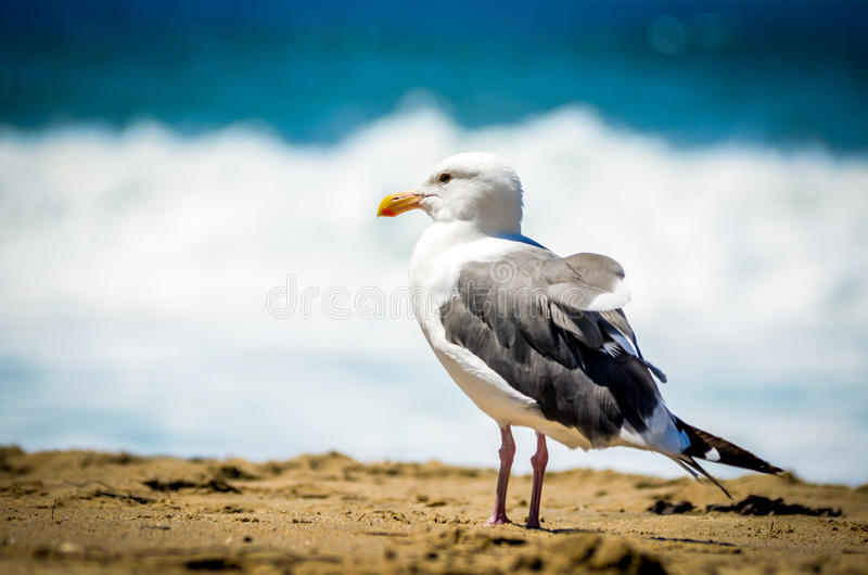 Seagull in California royalty free stock photos