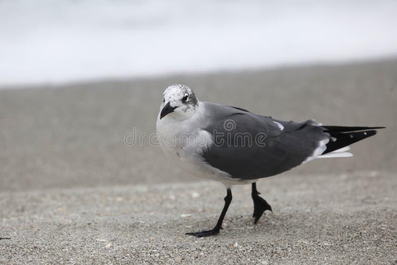 Seagull caminhando na Florida Beach imagem de stock