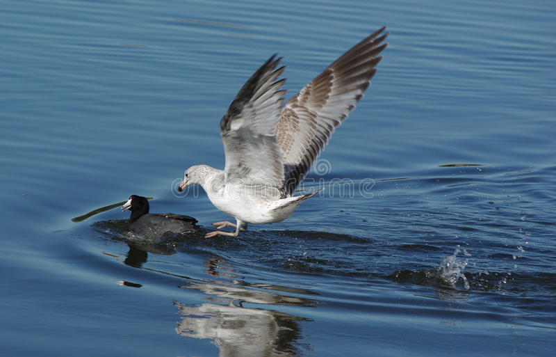 Seagull Chasing A Duck Royalty Free Stock Photography