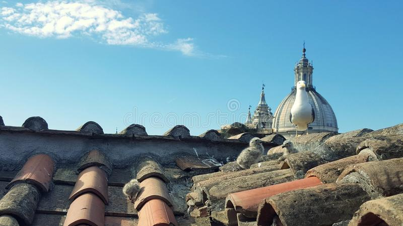 Seagull chicks on the rooftops of Rome stock photos