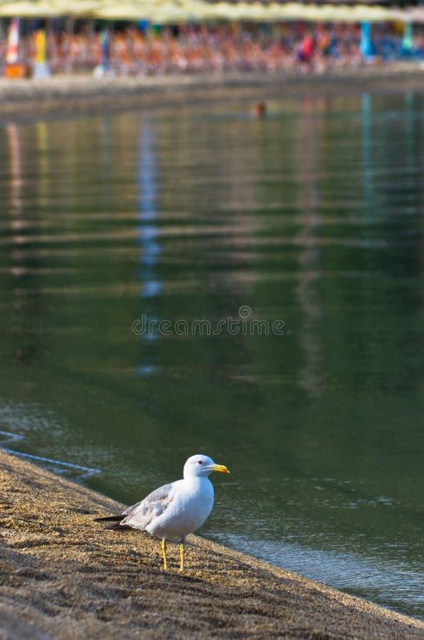 Seagull chodzi na pustej plaży przy rankiem w Sithonia zdjęcia stock