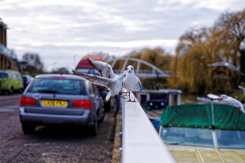 Seagull in city next to river looking at camera royalty free stock photo